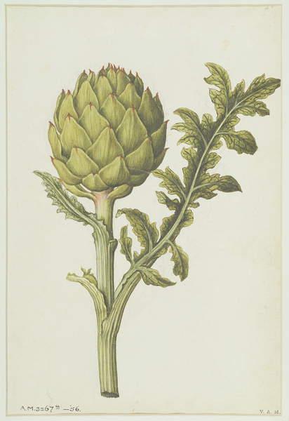 Image of RA10757, Artichoke: Cynara scolymus, c.1568, Le Moyne, Jacques (de Morgues) (1533-88) / French, Russell Ash Limited, Victoria & Albert Museum, London, UK, (C16th), © Bridgeman Images.