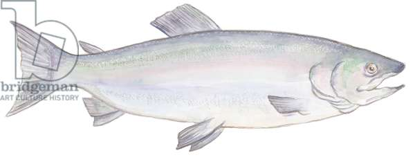 Fish, 2015, (watercolour)
