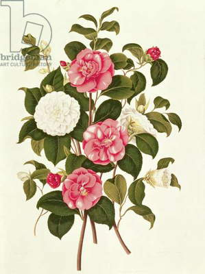 Camellia (double white and striped) from