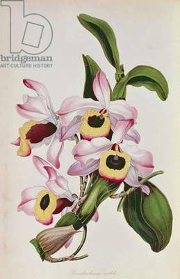 Orchid: Dendrobium nobile (Asian), from Sir Joseph Paxton's Magazine of Botany, No.7, c.1850
