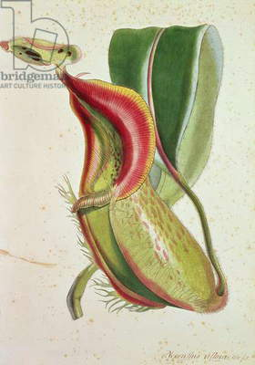 Pitcher plant: Nepenthes villosa (insect eating), signed H.K (colour lithograph)