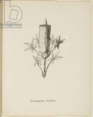 Fictional plant: 'Knutmigrata Simplice' Illustration from Nonsense Botany by Edward Lear, published in 1889.