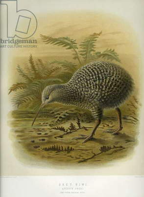 Grey Kiwi, from 'A History of the birds of of New Zealand', by Walter Buller, pub. London, 1873 (hand-coloured litho)