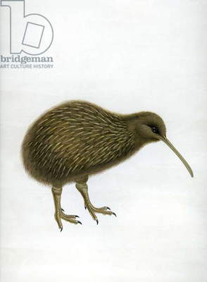A Kiwi, from 'A History of the birds of of New Zealand', by Walter Buller, pub. London, 1873 (hand-coloured litho)