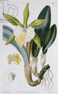Orchid: Brassavola glauca, published by I. Ridgway, 1846