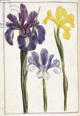 Irises, 18th century (watercolour and bodycolour)