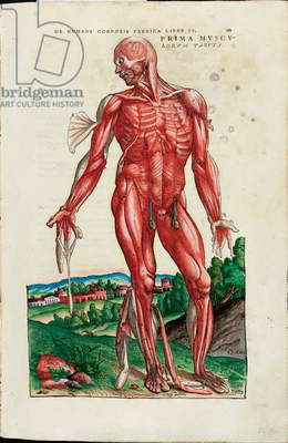 Prima Musculorum Tabula, illustration from 'De Humani Corporis Fabrica Libri Septem' by Andreas Vesalius (1514-64), published by Johannes Oporinus, Basel, June 1543 (colour woodcut)