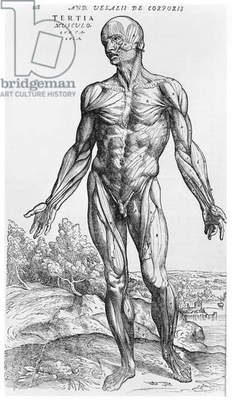Anatomical Study, illustration from 'De Humani Corporis Fabrica' by Andreas Vesalius (1514-64) Basel, 1543 (engraving) (b/w photo)