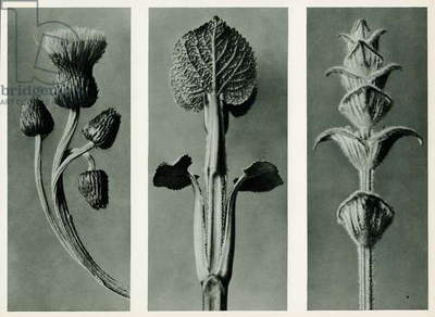 Study of three species of plant. 1929 (photogravure)