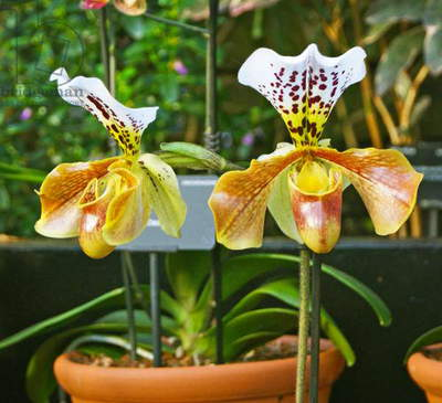 Paphiopedilum hybrid on display at the Kew Orchid festival, Kew Gardens, London. (photo)Kew Orchid festival, Kew Gardens, London. (photo)