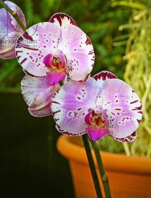 New orchid Phalaenopsis 'Diamond Sky' on display at the Kew Orchid festival, Kew Gardens, London. (photo)