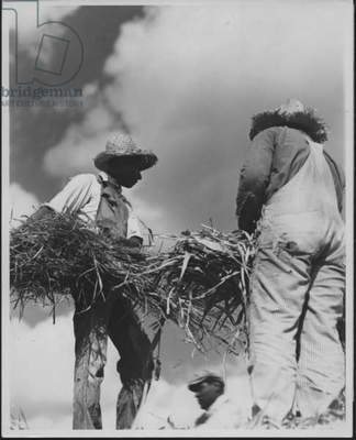 Workers Gathering Sheaves, 1935-36 (b/w photo)