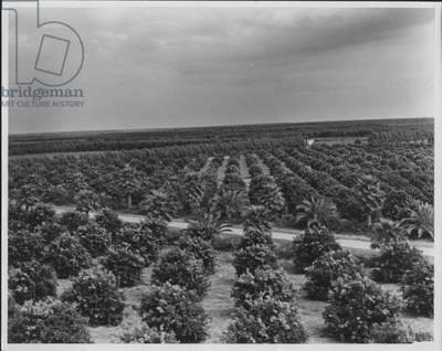 Orange Grove in Texas, 1935-36 (b/w photo)