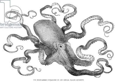 OCTOPUS Common European octopus (Octopus vulgaris) from the Crystal Palace Aquarium, London. Wood engraving, English, 1871.