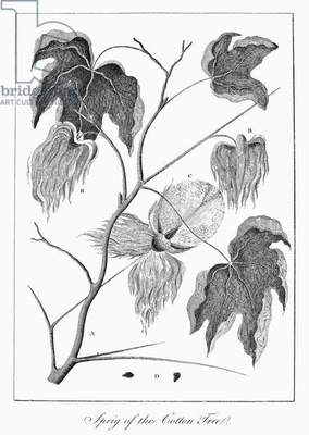 COTTON PLANT, 1796 A sprig of cotton, probably sea-island cotton (Gossypium barbadense). Line engraving by William Blake from 'Narrative of an Expedition against the Revolted Negroes of Surinam' by Captain J.G. Stedman, published in 1796.