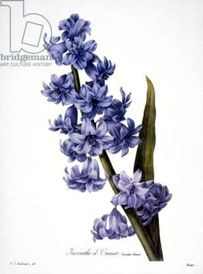 HYACINTH (Hyacinthus orientalis). Engraving after painting, 1833, by P.J. Redoute.