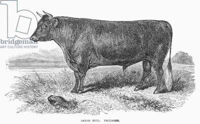 DEVON BULL The Devon bull, Tecumseh. Wood engraving, American, c.1875.