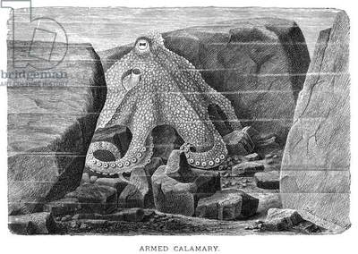 SQUID Armed calamary, or squid. Wood engraving, late 19th century.