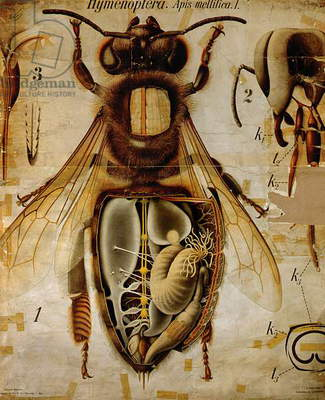 Anatomy of the Honey Bee, No.13, Pfurtscheller's Zoological Wall Chart (colour litho)