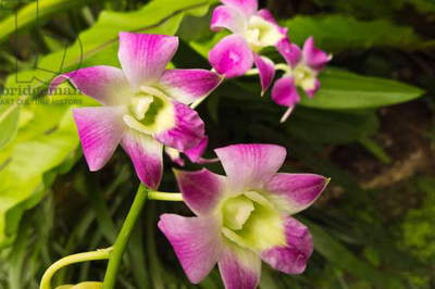 Orchids in bloom at Fairchild Tropical Botanical Gardens (photo)