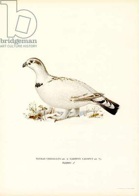 Western Capercaillie x Willow Ptarmigan (colour litho)