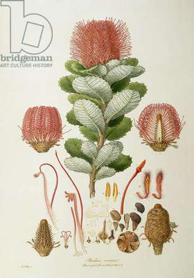 Banksia coccinea, from 'Illustrationes Florae Novaie Hollandiae', published 1813 (coloured engraving)