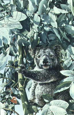 Koala, 1989 (gouache on paper)