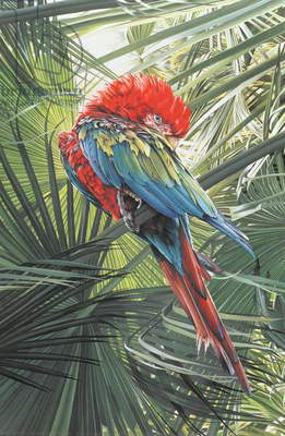 Scarlet Macaw, 1989 (gouache on paper)