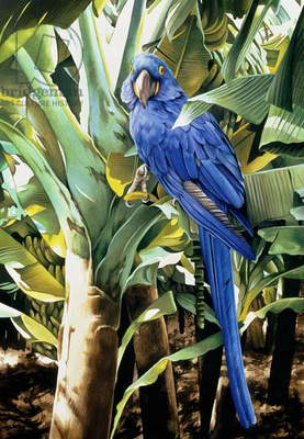 Hyacinth Macaw, 1992 (w/c on paper)
