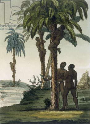 Natives climb palms using sling halters around their hips, 1820s/30s (colour litho)