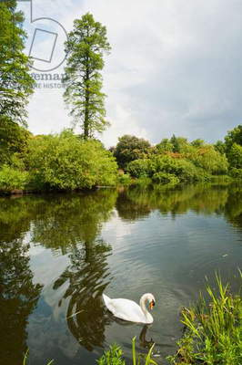 Swan, Royal Botanic Gardens, Kew, Surrey, England, United Kingdom (photo)