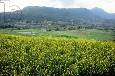 Mustard fields, Nepal.  (photo)