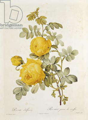 Rosa Sulfurea (Yellow Rose) from 'Les Roses' by Claude Antoine Thory (1757-1827) engraved by Eustache Hyacinthe Langlois (1777-1837) 1817 (coloured engraving)