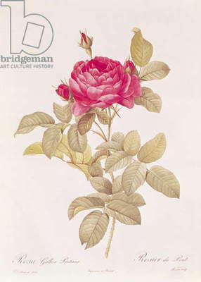 Rosa Gallica Pontiana, from 'Les Roses' by Claude Antoine Thory (1757-1827) engraved by Eustache Hyacinthe Langlois (1777-1837) (coloured engraving)