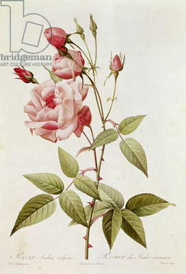 Rosa Indica Vulgaris, from 'Les Roses' by Claude Antoine Thory (1757-1827) engraved by Eustache Hyacinthe Langlois (1777-1837) 1817 (coloured engraving)