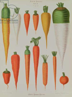 Carrots, Table IV from the 'Album Benary', engraved by G. Severeyns, 1876 (chromolitho)