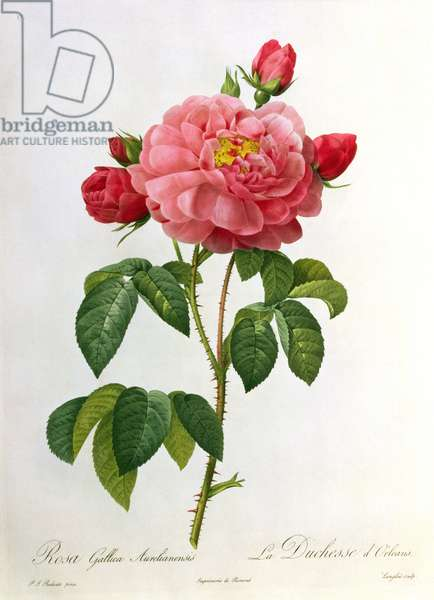 Rosa Gallica Aurelianensis, engraved by Eustache Hyacinthe Langlois (1777-1837) (coloured engraving)