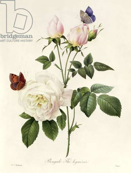 Rosa: Bengale the Hymenes, from 'Les Roses', 19th century (coloured engraving)