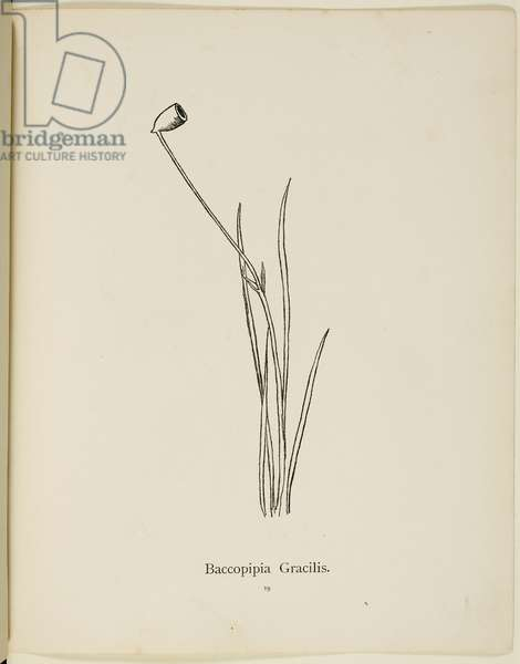 Fictional plant: 'Baccopipia Gracilis' Illustration from Nonsense Botany by Edward Lear, published in 1889.