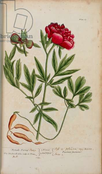 A peony, from 'A Curious Herbal...' by Elizabeth Blackwell, 1737 (hand-coloured engraving)