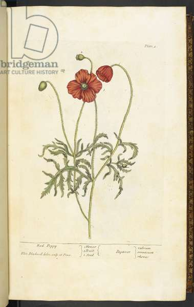 Red Poppy, Plate 2 from 'A Curious Herbal...' by Elizabeth Blackwell, 1737 (hand-coloured engraving)