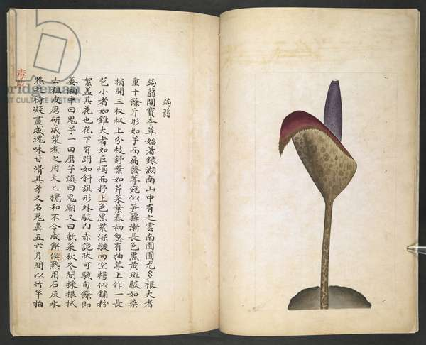 Or 13347 B ff.6v-7r Devil's Tongue or Devil's Trumpet, from 'Du Cao (Poisonous Plants)' (ink & colour on paper)
