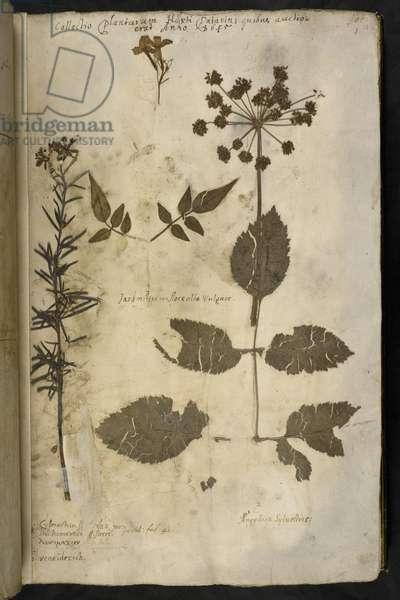 Add MS 78334 f.3r Dried plant specimen with explanation, from the 'Hortus Hyemalis', by John Evelyn, 1645 (ink on vellum)