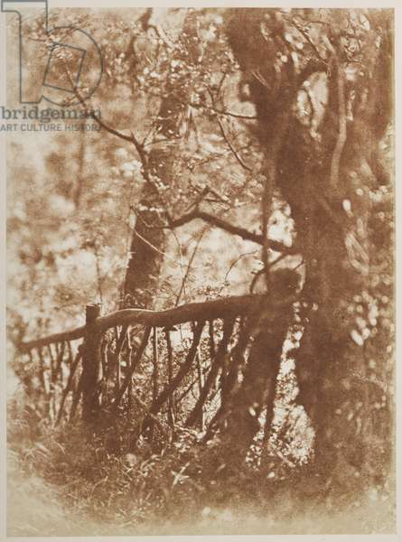 Photograph of a tree. A calotype image from an album of Scottish images.