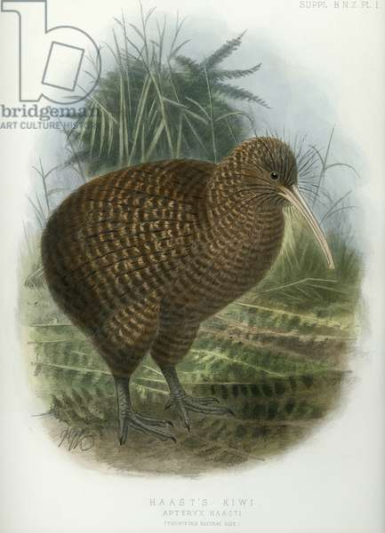Haast's Kiwi, from 'A History of the birds of of New Zealand', by Walter Buller, pub. London, 1873 (hand-coloured litho)