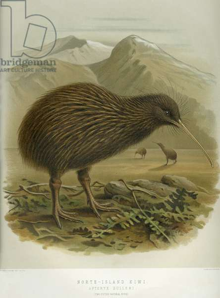 North-Island Kiwi, from 'A History of the birds of of New Zealand', by Walter Buller, pub. London, 1873 (hand-coloured litho)