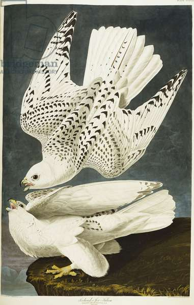 Iceland Or Jer Falcon. Gyrfalcon (Falco Rustiocolis) from 'The Birds of America' (aquatint & engraving with hand-colouring)