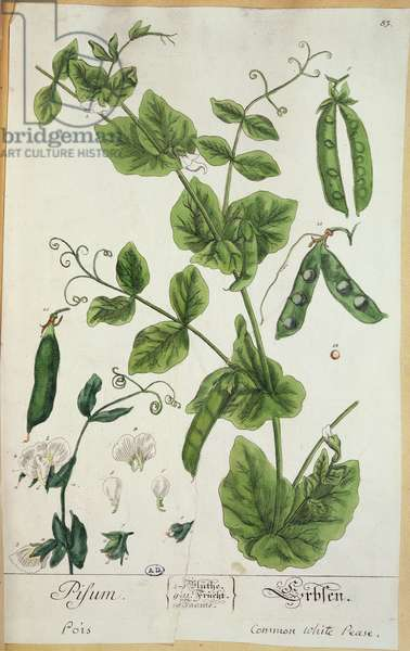 Pea, plate from 'Herbarium Blackwellianum' by the artist, 1757 (pen & ink and w/c on paper)