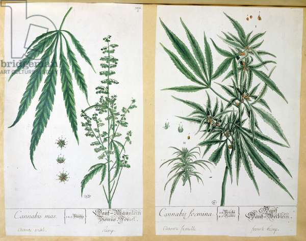 Cannabis mas and Cannabis foemina, from 'Herbarium Blackwellianum', 1757 (pen & ink and w/c on paper)
