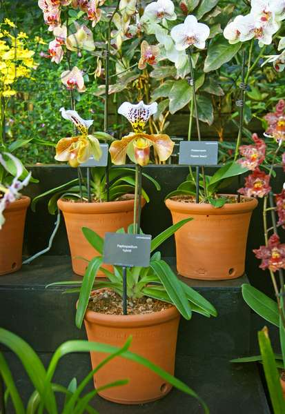 Specimens on display at the Kew Orchid festival, Kew Gardens, London. (photo)